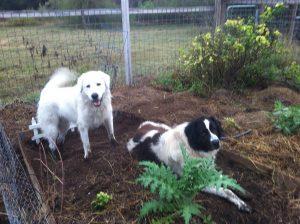 dogs-in-garden